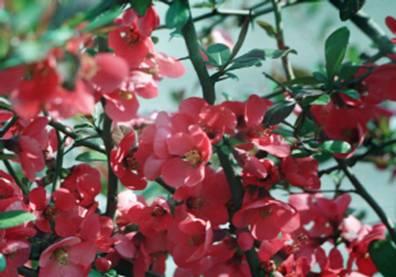Цвіте айва японська у дендропарку Заліщицького агроколеджу