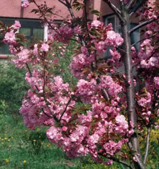 Японська сакура весною. Дендропарк Заліщицького агроколеджу